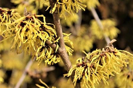 Lubera Gelbblühende Zaubernuss 'Arnold Promise', starke Pflanze im 5l Topf