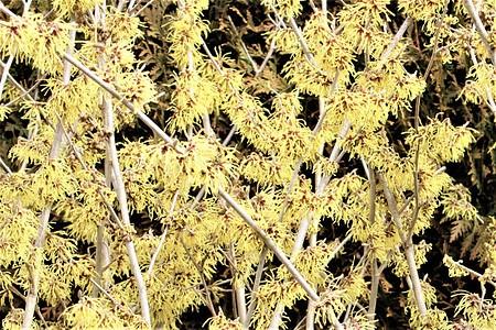 Lubera Gelbe Zaubernuss 'Westerstede', starke Pflanze im 5l Topf