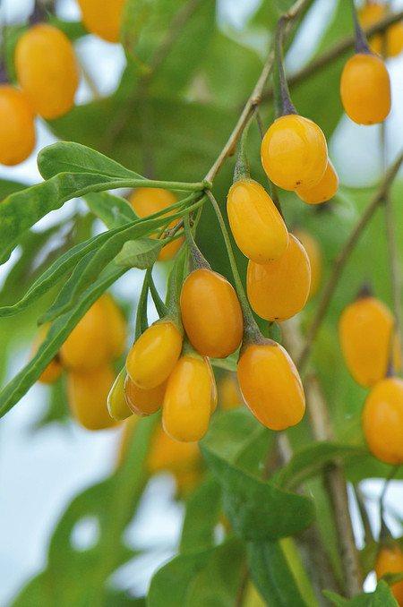 Lubera Goji Beere Sweet Amber®