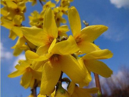 Lubera Goldglöckchen 'Goldrausch', starke Pflanze im 3l Topf