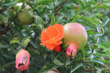 Lubera Granatapfel Favorite