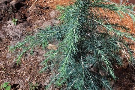 Lubera Himalaja-Zeder 'Blue Globe', Kräftige Pflanze im 5 l-Topf, 30-40 cm