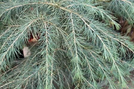 Lubera Himalaja-Zeder, Kräftige Pflanze im 3 l-Topf, 40-60 cm