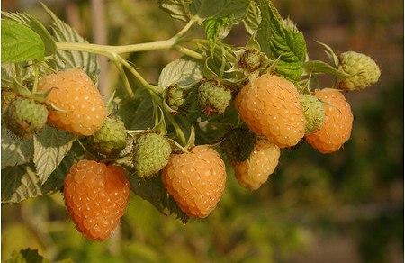 Lubera Himbeere Frambeasy® Autumn Amber®