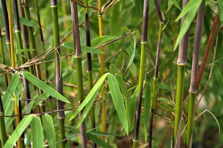 Lubera Jadebambus 'Jiuzhaigou 1', Starke Pflanze im großen 7,5l Topf