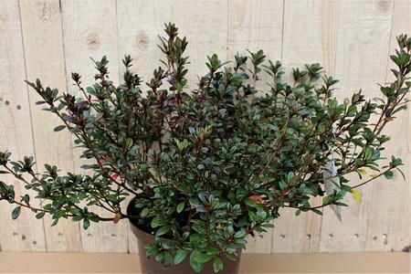 Lubera Japanische Azalee 'Maruschka', Pflanze im 2 l-Topf, 15-20 cm
