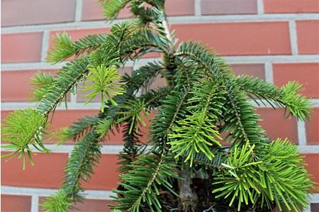 Lubera Japanische Tanne 'Pendula', Kräftige Pflanze im 3 l-Topf, 25-30 cm