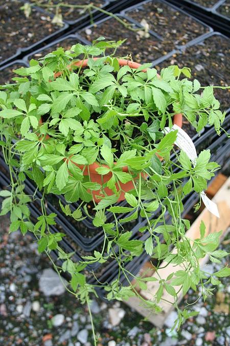 Lubera Jiaogulan - Kraut der Unsterblichkeit, Kräftige Pflanzen im 1,3l Topf