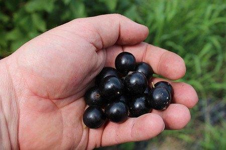 Lubera Johannisbeere Cassissima® Black Marble