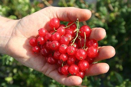 Lubera Johannisbeeren Ribest® Babette®, 1 Pflanze