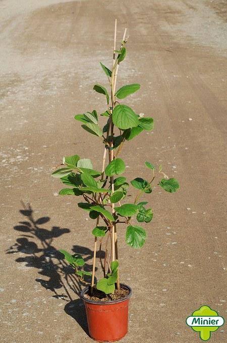 Lubera Kiwi Minkimale® (Befruchter für Minkigold®)