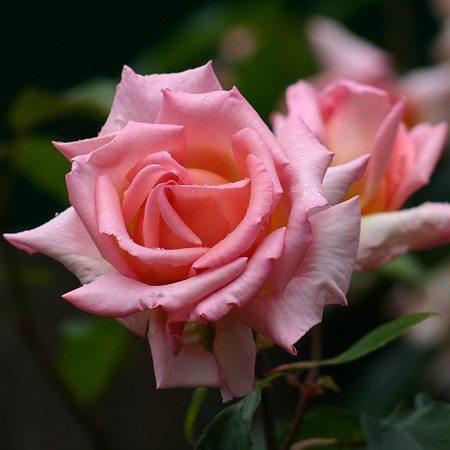 Lubera Kletterrose Compassion, Kräftige Pflanze im 6lt Container