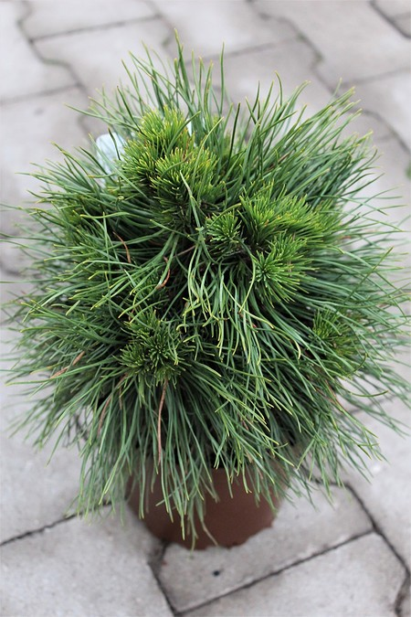 Lubera Kompakte Kugelkiefer, KräftigePflanze im 2 l-Topf, 15-20 cm