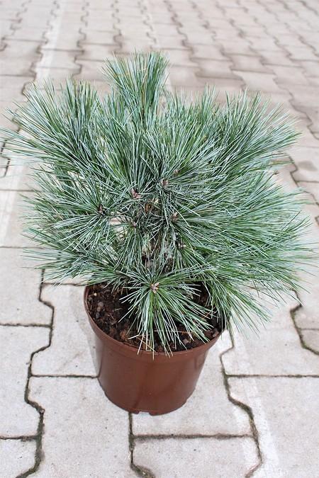 Lubera Kompakte Seidenkiefer, Kräftige Pflanze im 5 l-Topf, 30-40 cm