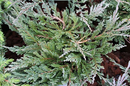 Lubera Kriechwacholder 'Blue Chip', Kräftige Pflanze im 2 l-Topf, 15-20 cm