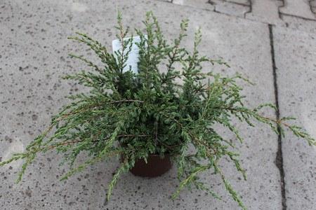 Lubera Kriechwacholder 'Repanda', Kräftige Pflanze im 2 l-Topf, 15-20 cm