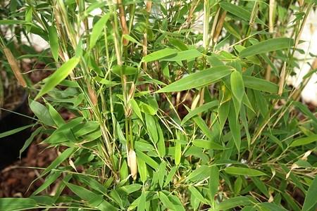 Lubera Löwenbambus 'Simba', Starke Pflanze im großen 10l Topf