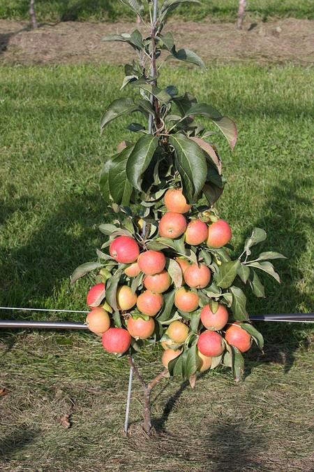 Lubera Mini-Apfelbäumchen Maloni® Lilly®