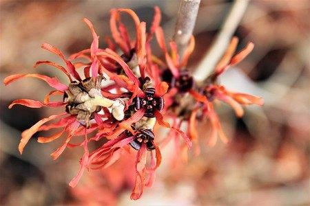 Lubera Orange Zaubernuss 'Jelena', starke Pflanze im 5l Topf