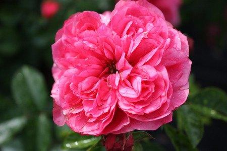 Lubera Rose Comtesse de Pologne® (im grossen Container)