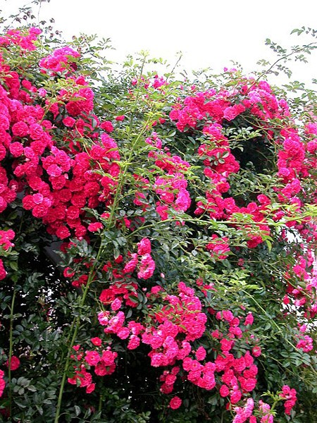 Lubera Rose Excelsa, starkes Stämmchen im 10l-Topf