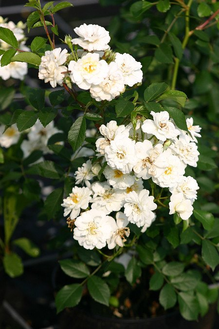 Lubera Rose Guirlande d'Amour, Stämmchen im 10l-Topf