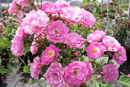 Lubera Rose Kletterröslein Roseasy® Married® (im grossen Container)