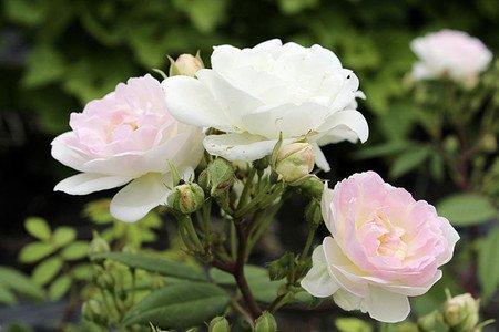 Lubera Roseasy® Kletterröslein Herzlich
