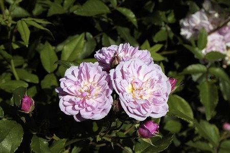 Lubera Roseasy® Pompadour