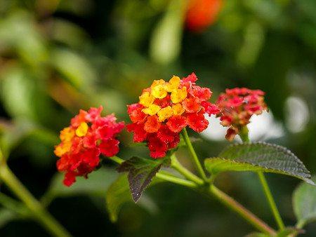 Lubera Rotes Wandelröschen, Dekorative Kübelpflanze im 3l-Topf