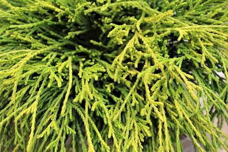 Lubera Scheinzypresse, Gelbe Fadenzypresse, Pflanze im 2 l-Topf, 15-20 cm