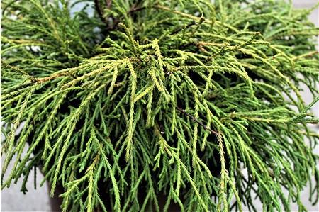 Lubera Scheinzypresse, Grüne Fadenzypresse, Pflanze im 2 l-Topf, 15-20 cm