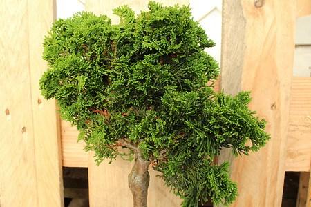 Lubera Scheinzypresse, Muschelzypresse - Zwergstamm, Pflanze im 3l-Topf
