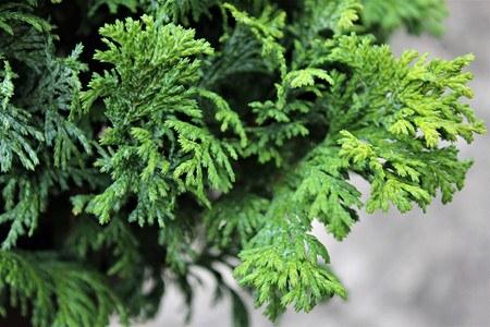Lubera Scheinzypresse, Zwerg-Mooszypresse, Pflanze im 2 l-Topf, 15-20 cm