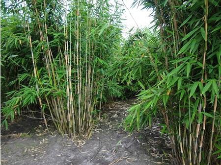 Lubera Schirmbambus 'Standing Stone', Starke Pflanze im 5l Topf