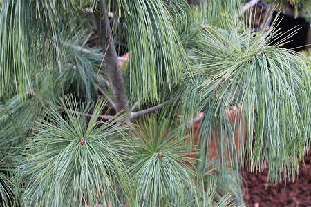 Lubera Schwerin-Kiefer, Kräftige Pflanze im 3 l-Topf, 25-30 cm