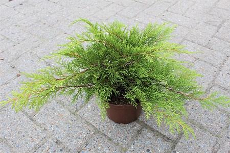 Lubera Sibirischer Fächerwacholder, Kräftige Pflanze im 2 l-Topf, 15-20 cm