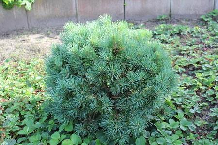 Lubera Silberkiefer 'Watereri', Kräftige Pflanze im 4 l-Topf, 25-30 cm