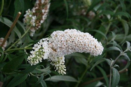 Lubera Sommerflieder, Schmetterlingsstrauch 'White Profusion'