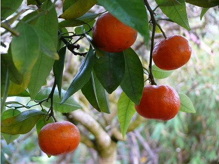 Lubera Tardivo-Clementine 'Tardivo'