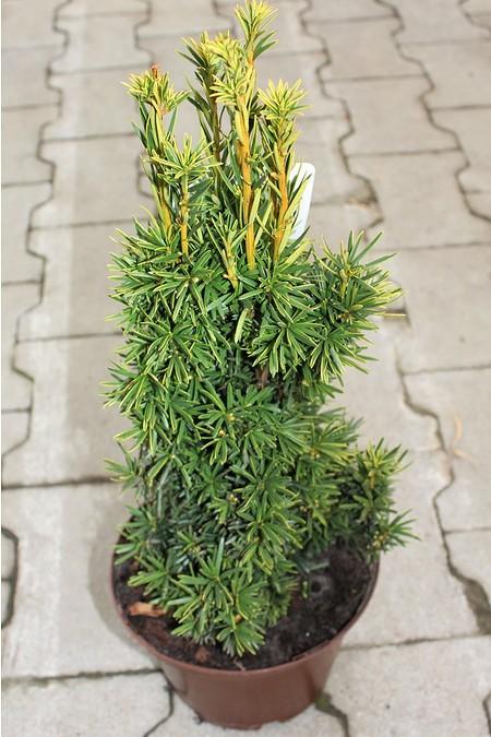 Lubera Taxus baccata 'Fastigiata Aureomarginata', Pflanze im 2l-Topf