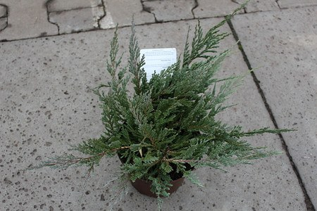 Lubera Teppichwacholder 'Glauca', Kräftige Pflanze im 2 l-Topf, 15-20 cm