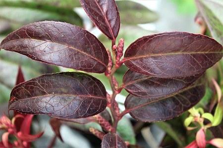 Lubera Traubenheide 'Royal Ruby', Kräftige Pflanze im 3 l-Topf, 20-30 cm