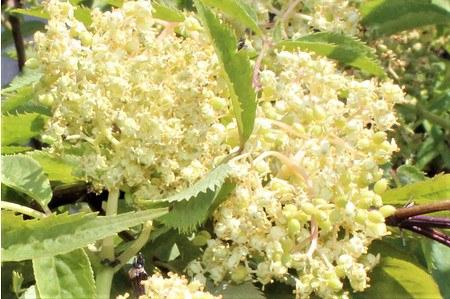 Lubera Traubenholunder 'Golden Lace', Pflanze im 5 l-Topf, 40-60 cm