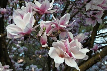 Lubera Tulpen-Magnolie, Kräftige Pflanze im 5 l-Topf, 40-60 cm