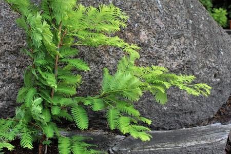 Lubera Urweltmammutbaum 'Gold Rush'