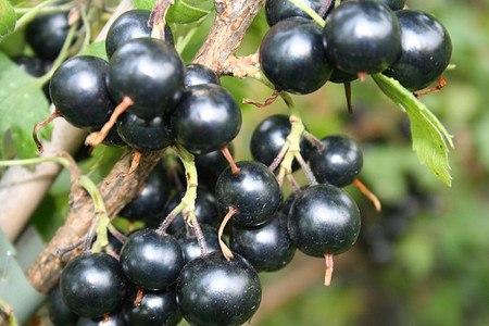 Lubera Vierbeere® Black Pearl®