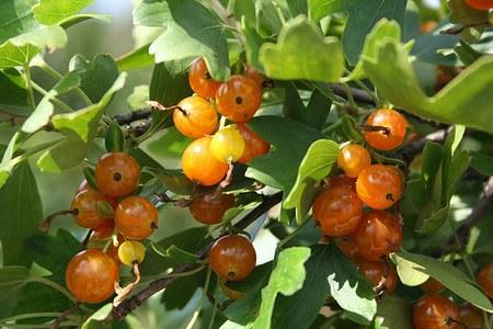 Lubera Vierbeere® Orangesse®