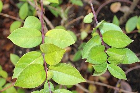 Lubera Winter-Duftheckenkirsche, Kräftige Pflanze im 5 l-Topf, 40-60 cm