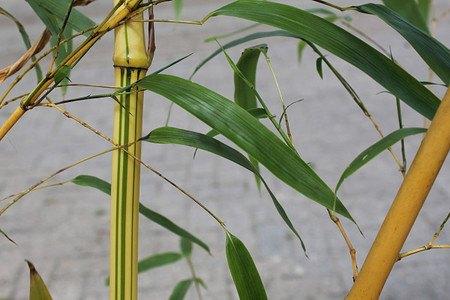Lubera Zauberbambus 'Aureocaulis', Starke Pflanze im großen 20l Topf